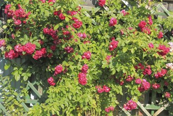 Climbing roses need to be fastened or tied to trellises or supports.