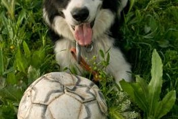 Rescues and dogsitters will accept beat-up soccer balls — dogs love to chew on them.