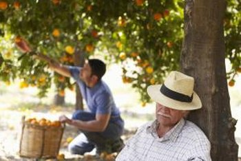 Orange trees generally produce most of their fruit on the lower tier of the canopy.