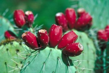 Prickly pear cacti develop their flowers and fruit on the top of terminal pads.