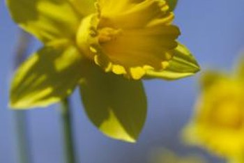 Daffodil bulbs must be dried before storage.