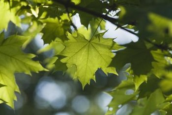 Big-leaf maple trees have large, showy leaves that change color.