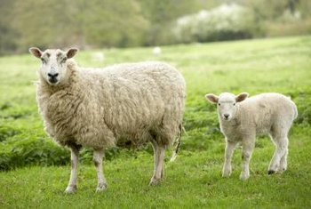 The age of a sheep determines the type of rug made from its wool.