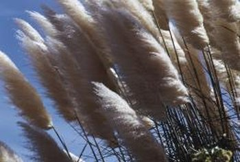 The tufted plumes of pampas grass are used in dried floral arrangements.
