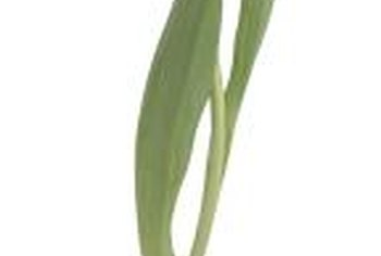 Seeds take several years to develop into a tulip bulb.