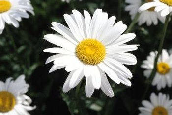 Lush green foliage highlights Shasta daisies' brilliant white blooms.