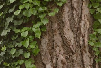 Ivy may look charming, but can damage trees and structures.