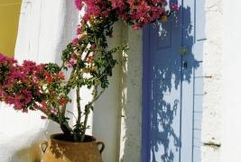 Bougainvillea in a container brings a splash of color to entryways.