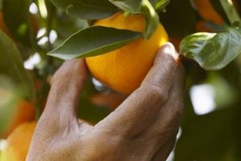 Harvesting tools cut fruit from trees and are especially helpful for fruits that don't drop easily.