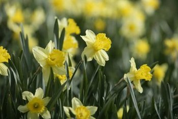 Daffodil leaves remain green long after the blooms wilt.