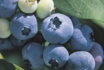 Blueberries are some of the many plants that prefer acidic soil.