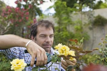 Summer pruning, or deadheading, encourages new blooms.