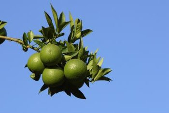 A combination of factors could cause fruit drop on citrus.