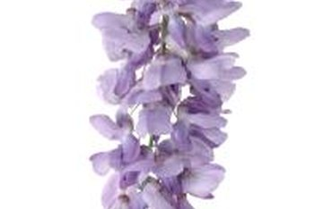 Wisteria is known for its purple flowers.