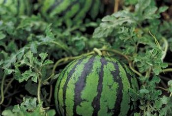 Hand-pulling weeds may be safer than vinegar near watermelons.