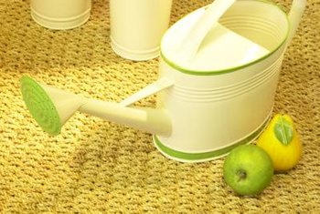 Over-watering can quickly kill your string of bananas plant.