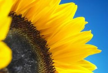 Sunflower blooms turn to face the sun.