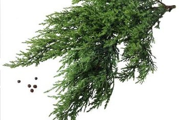 Juniper bushes bear needlelike foliage.