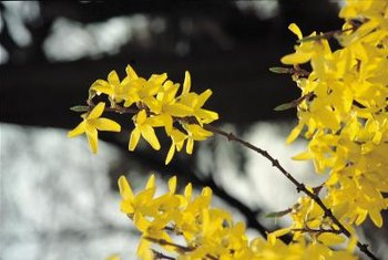 Forsythia blooms in early spring before its leaves appear.