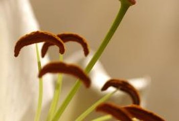 The orange-brown crescents inside an open lily are the pollen-filled anthers.