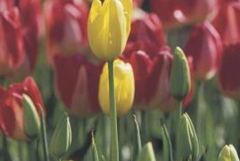 Tulips produce some of the first spring flowers.
