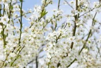White cherry tree blossoms often are fragrant.