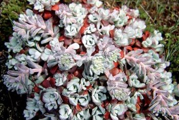 A flowering sedum has impressive blossoms.