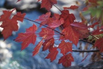 Maples provide reliable red fall color.