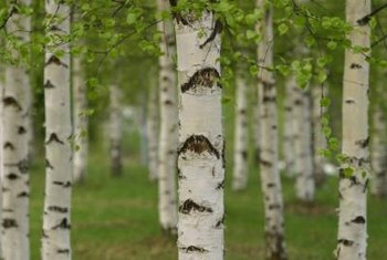 A grouping of white-barked birches makes an impression.