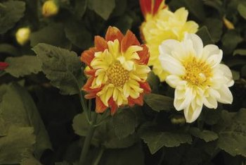 Dahlia flowers grow in groups of three.