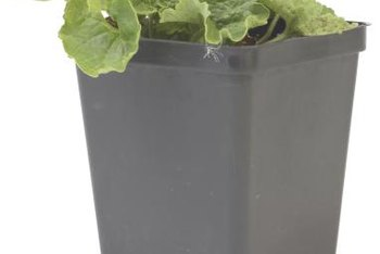 Transplant geraniums into larger containers when they reach 3 to 6 inches tall.