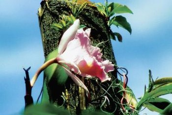 Epiphytic orchids grow on tree bark.