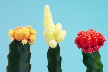 These grafted cacti -- occurring in yellow and white as well as red -- typically live only a few years and do not grow appreciably.