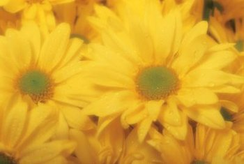 Yellow chrysanthemums are typically used for tea.