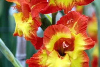 Gladiolus produces tall flower spikes filled with blossoms.