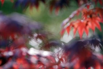 Japanese maples have deeply cut-out leaves that often turn red in fall.