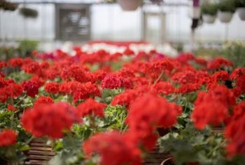 Hundreds of geranium varieties exist.