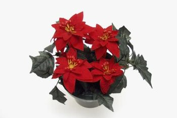 Poinsettias provide brilliant color indoors and out.