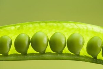 Snow peas and snap peas have tender edible pods.