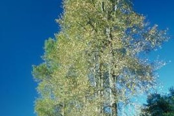 The white poplars is named for the whitish bark on a mature tree.