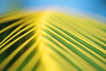 When your palm plant fronds start to yellow, it could be caused by root rot.