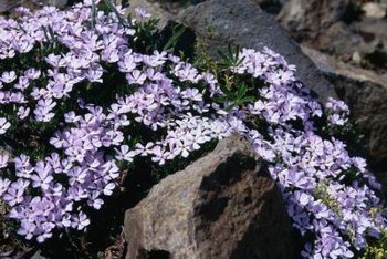 Creeping phlox, an evergreen ground cover, blooms in the spring.