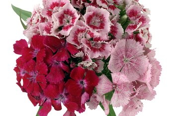 How to remove dead blooms from a dianthus home guides sf gate sweet williams are a perennial species mightylinksfo Choice Image