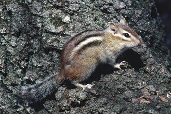 You can recognize chipmunks by the distinctive stripes on their backs.