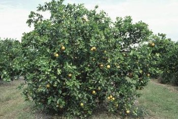 No part of a lemon tree is immune to fungal infection.