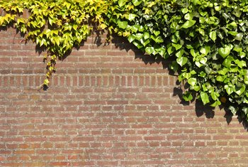 Get rid of ivy before it takes over your home.