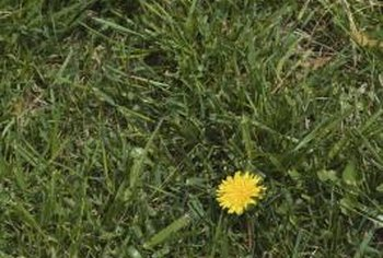 Glyphosate kills lawn weeds, but they can return in a poorly maintained lawn.