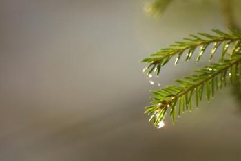 Delicate indoor pine foliage can burn if the soil dries out.