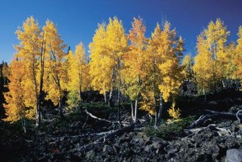 Stands of quaking aspen set autumn mountainsides ablaze with color.