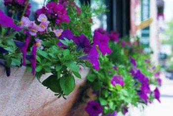 Wave petunias cascade over the sides of window boxes and containers.